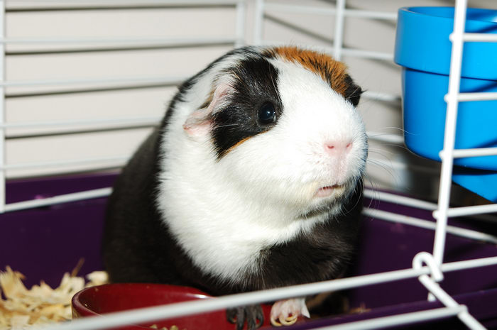 My, Pets, Guinea, Pigs, 0., GPs