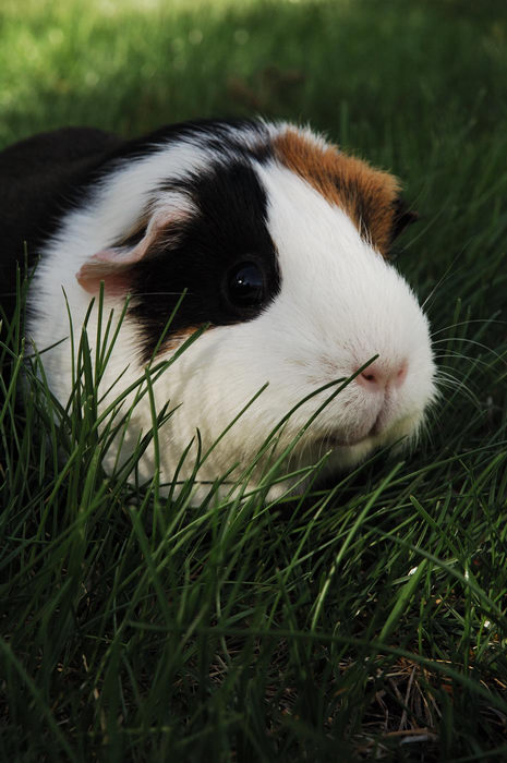 Guinea, Pig, Photo, Shoot, Pigs, Moms, House, Freehold, Favorites, My, 0., GPs