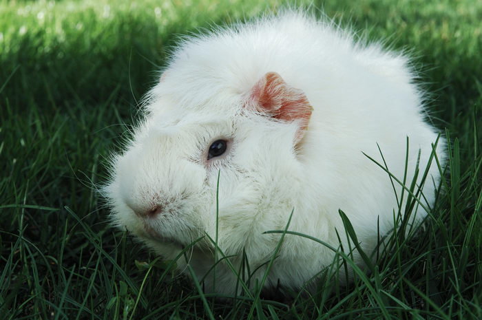 Guinea, Pig, Photo, Shoot, Pigs, Moms, House, Freehold, My, 0., GPs