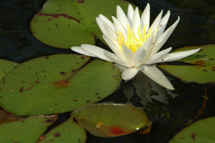 Flower, Manasquan Reservoir, NJ, Lillies, and, birds, at, the, Man, Res, ()