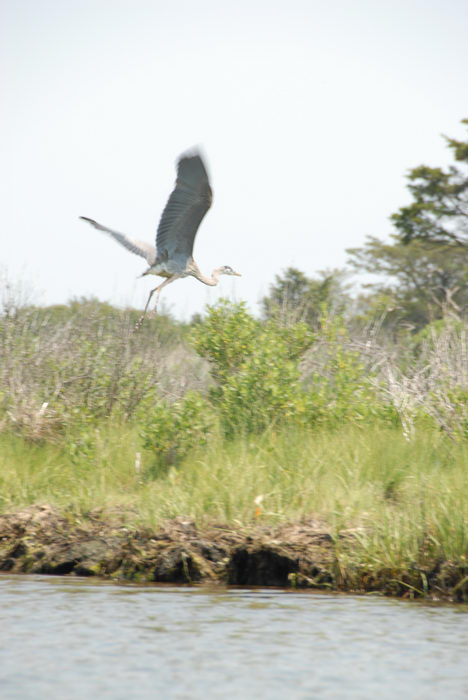 Birds, Sedge Islands (NJ), Paddling, with, Rob, in, the