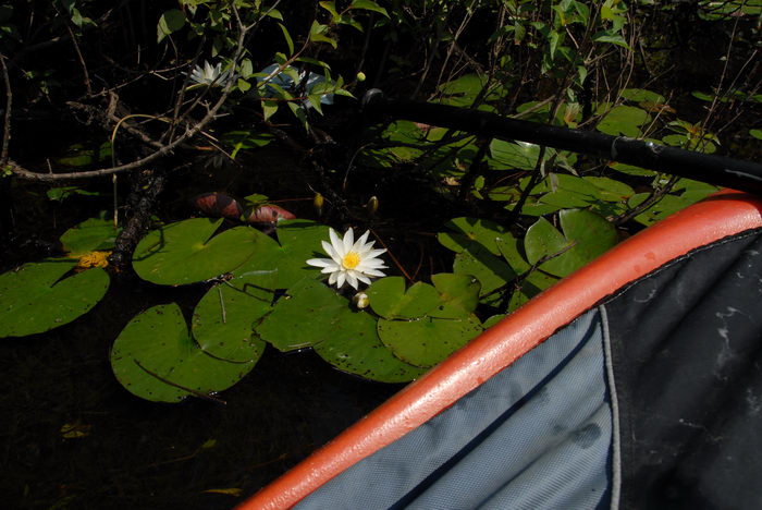 Flower, Water, Ponds, Lakes, General, Kayaking, Paddling, Boating, Rivers, Streams, b, with, Rob, in, Forge Pond (NJ), Metedeconk, River, LOC00070