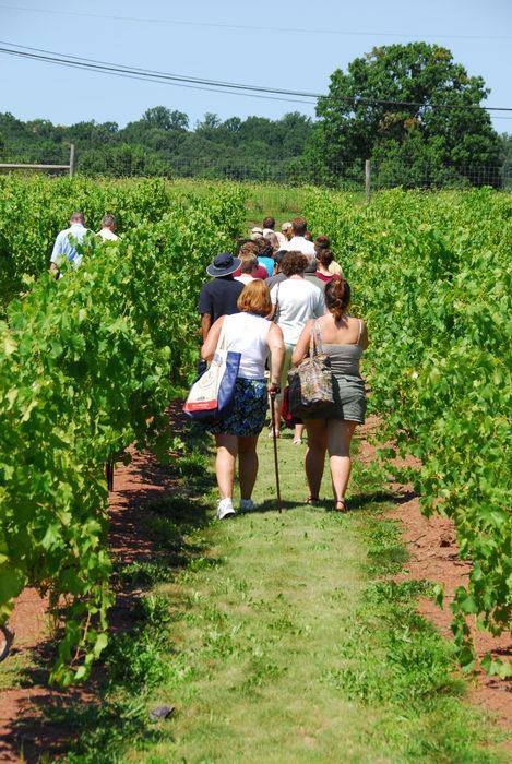 grape vine, tour, vineyard