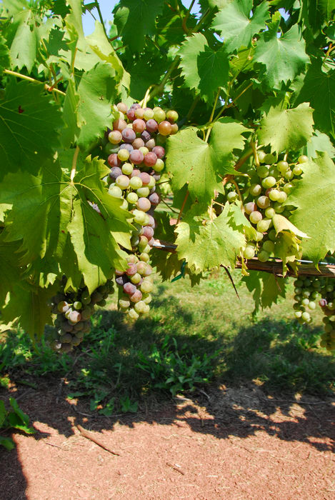 grape vine, grapes, vineyard
