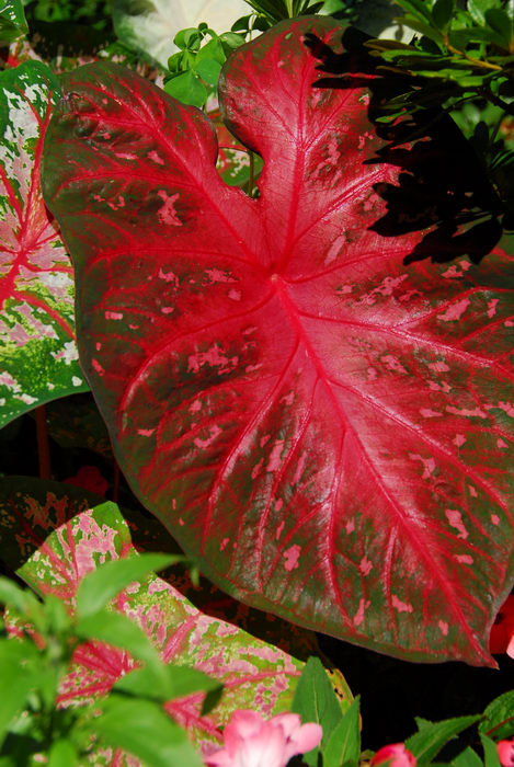 big leaf, red