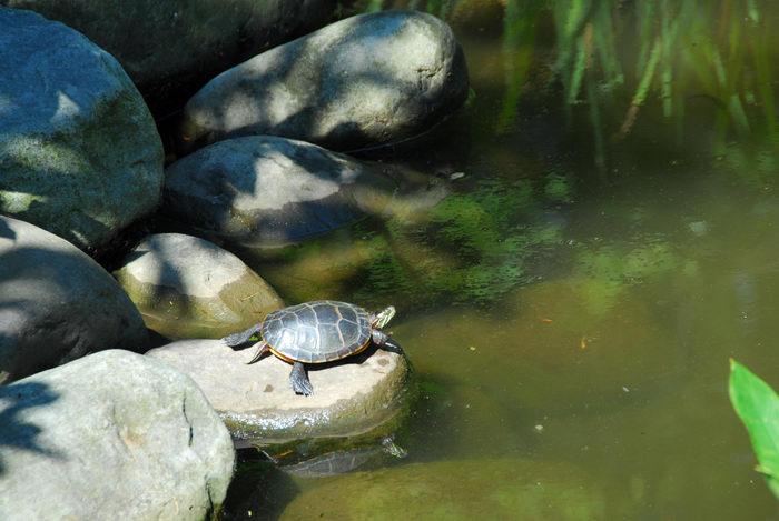 rocks, turtle, water