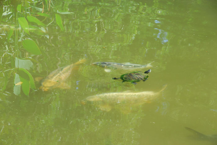 fish, turtle, water