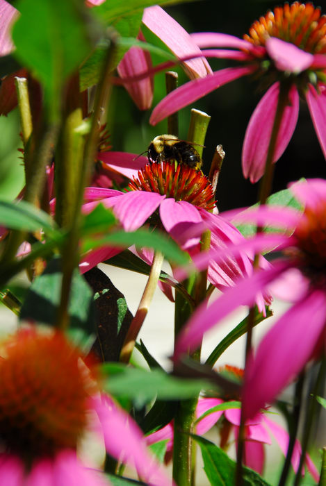 bumble bee, flower, insect