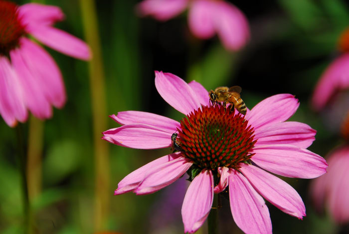 flower, honey bee, insect
