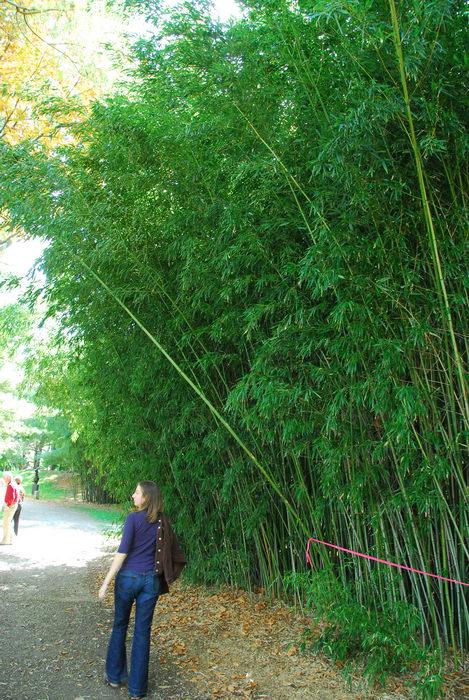 bamboo, trees