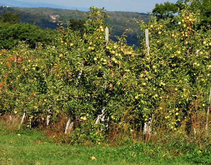 apples, blue sky, grass, hills, trees