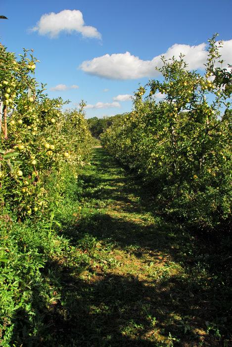apples, blue sky, grass, trees