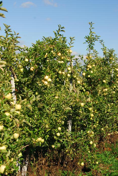 apples, blue sky, trees