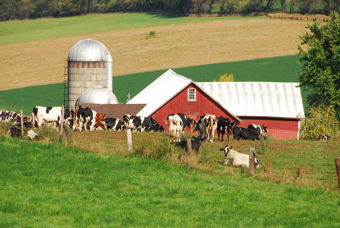 barn, cows, field, greass