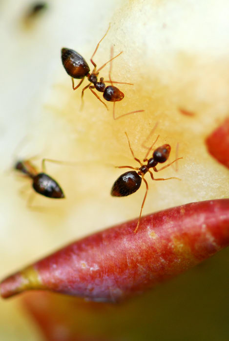 ants, apples, close up