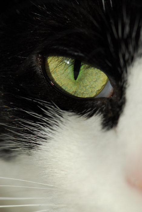 cat, close up, eye