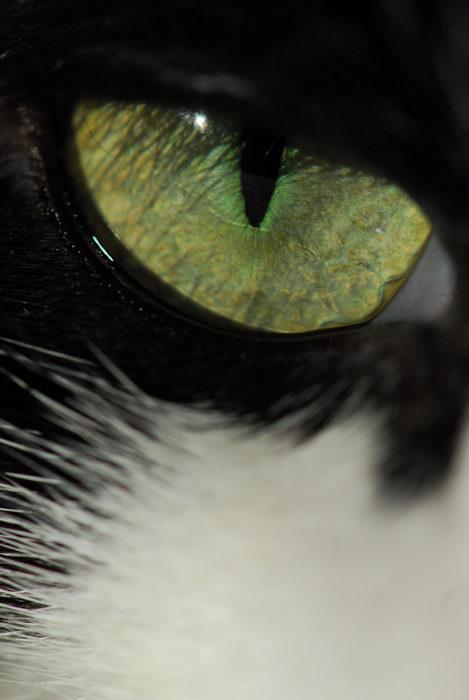 cat, close up, eye