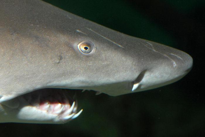 fish, fishtank, shark