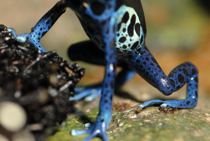 frog, poison dart