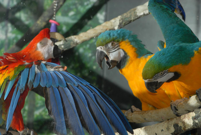 bird, fighting, parrot