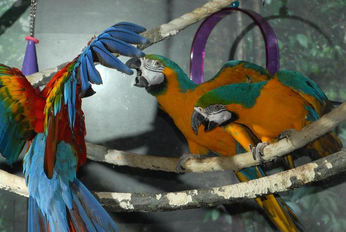bird, fighting, parrot