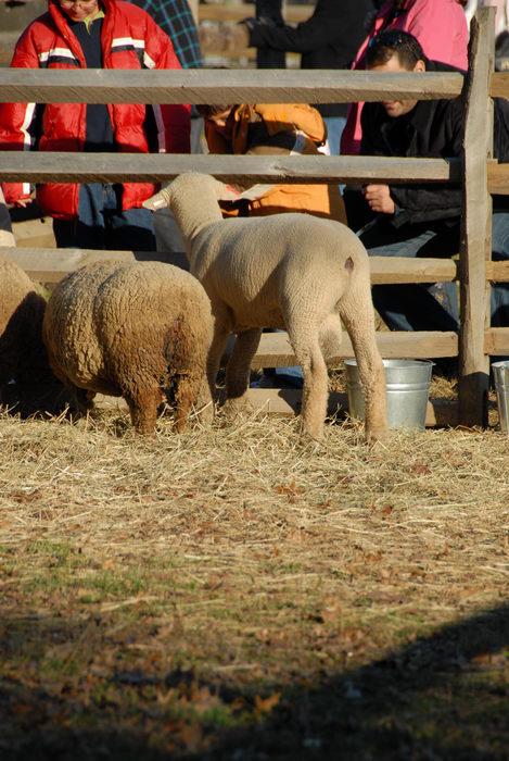 fence, sheep