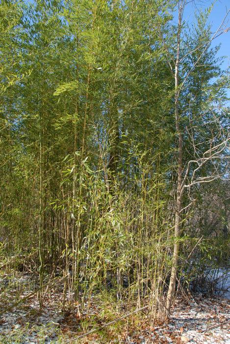 bamboo, blue sky, snow, trees