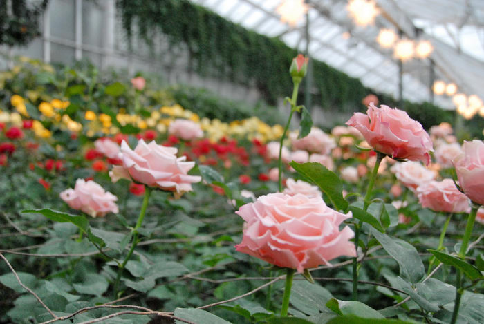 flowers, gardens, greenhouse, roses