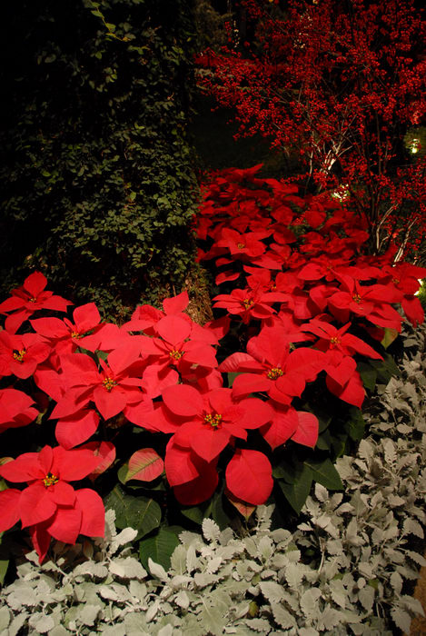 My Favorite Pictures, Poinsettia, gardens, ivy, nighttime