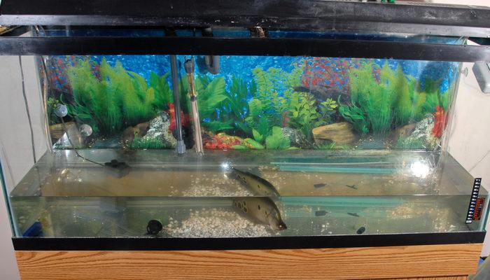 clown knife, fish tank, water