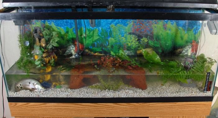 clown knife, fish tank, plants, water