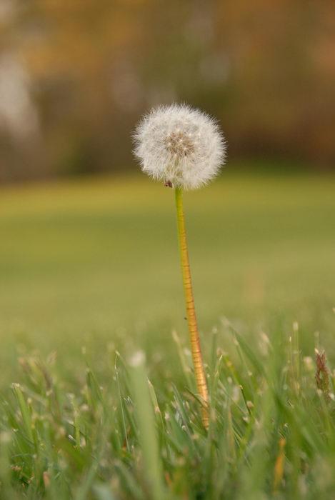 dandelion, field