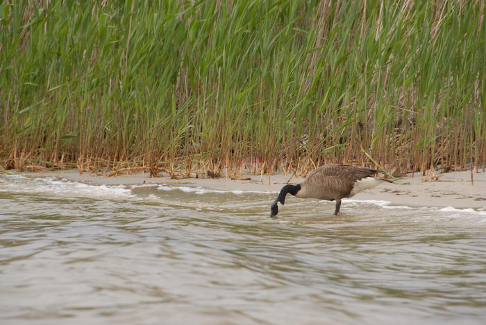 Canadian goose, grass, sand, water