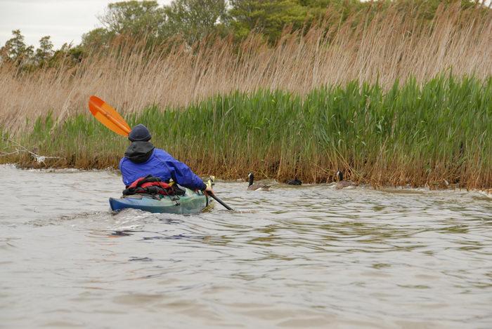 Canadian goose, Rob, grass, kayak, paddle, reeds, water
