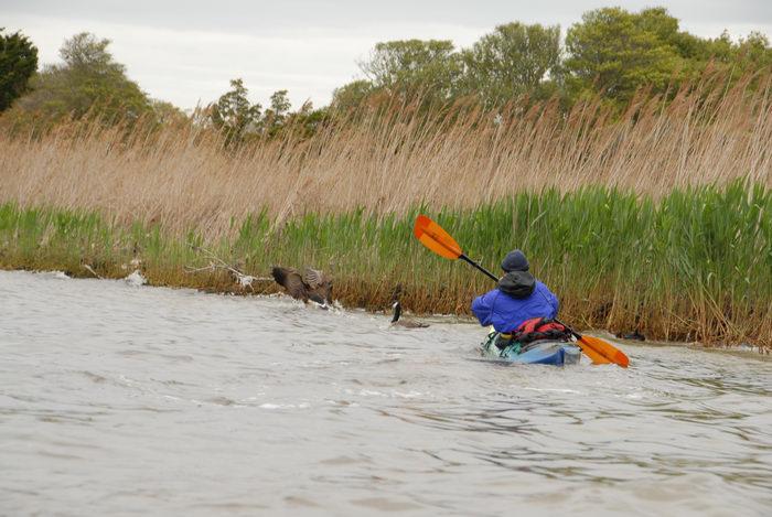 Canadian goose, Rob, grass, kayak, paddle, reeds
