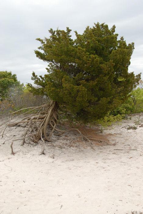 beach, dunes, roots, sand, tree