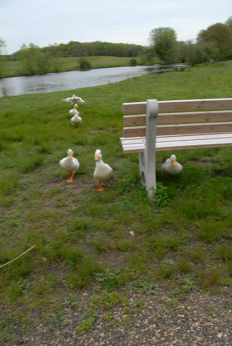 attack, bench, ducks, grass, pond, trees, water