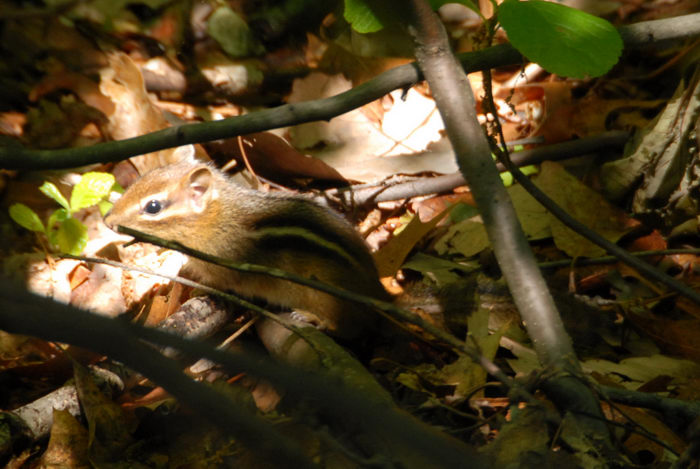 animal, chipmunk, ground, leaves, twigs