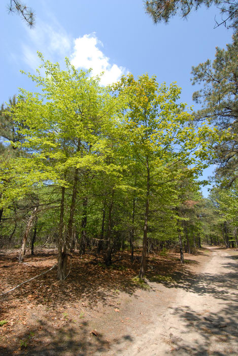 blue sky, path, trail, trees, woods
