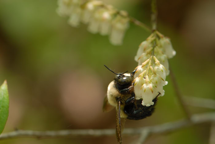 bumble bee, flowers