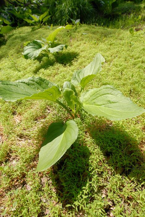 grass, skunk cabbage