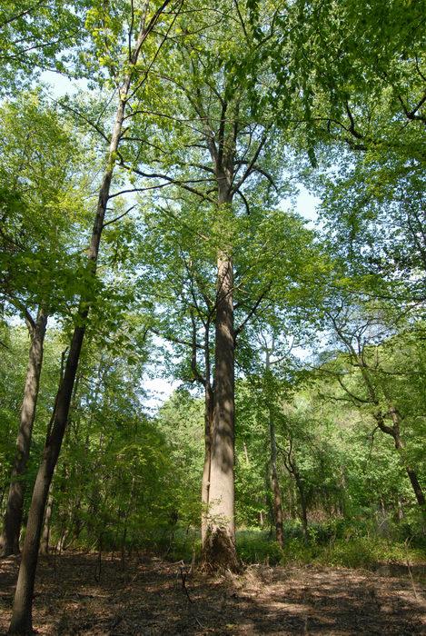 big tree, trees, woods