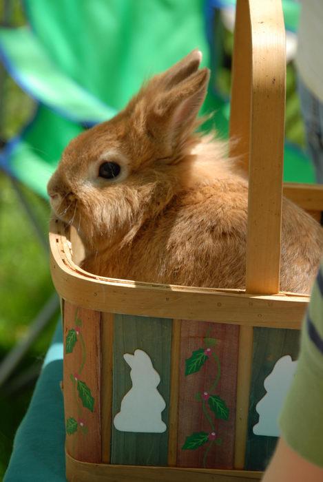 basket, rabbit