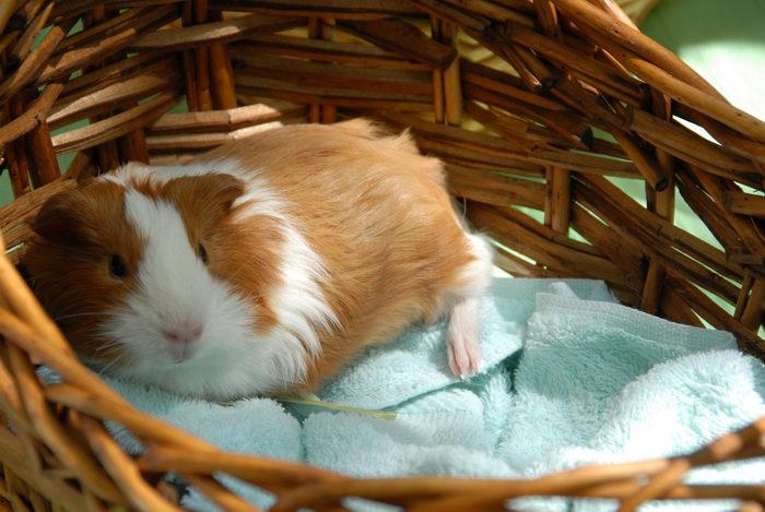 basket, guinea pig, towel