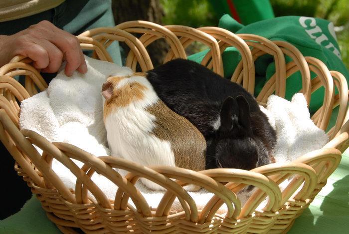 basket, brabbit, grass, guinea pig, people