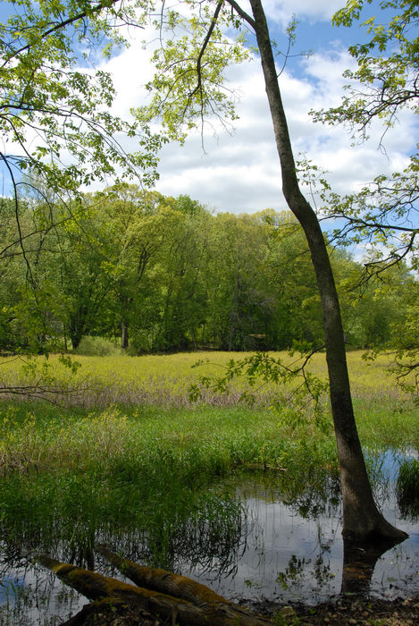 Rush pond, grass, marsh, trees, water