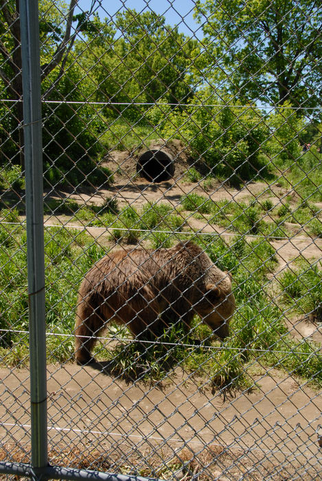 bear, cage, fence, grass, trees