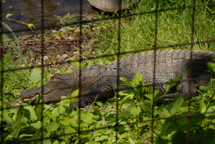 alligator, cage, grass, water