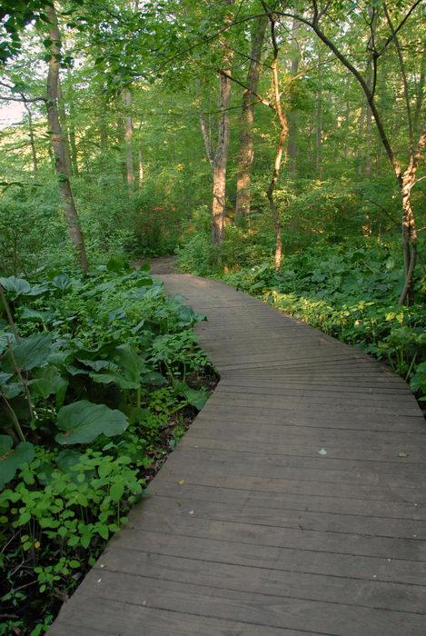 boardwalk, ground cover, marsh, tree, woods