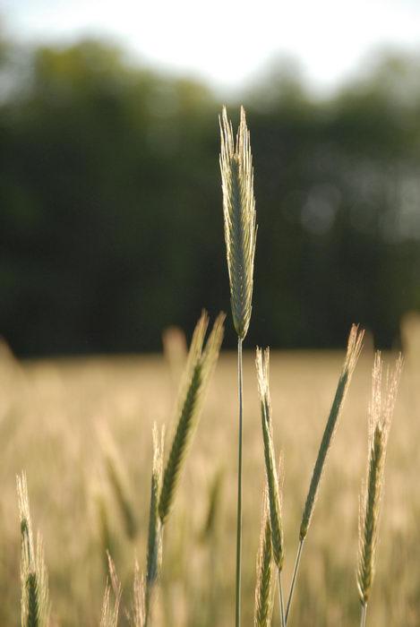 field, grain